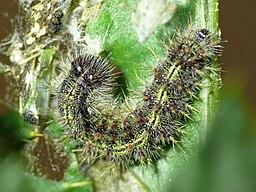 Vanessa cardui - caterpillar 06 (HS)