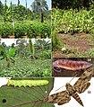 Vanikoro-entomologie-planche 2.jpg