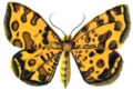 Venilia Macularia.PNG