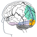 Ventral and dorsal stream in visual information processing.png