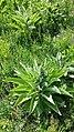 Verbascum speciosum sl19.jpg