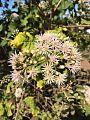 Vernonia colorata02.jpg