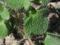 Veronica cf hederifolia blatt.jpg