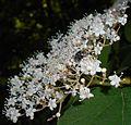 Viburnum betulifolium 2015-06-01 OB 065.jpg