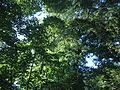 View upward of trees and leaves in park in Cranford New Jersey.jpg