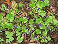 Viola odorata001.jpg