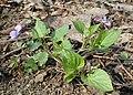Viola reichenbachiana kz07.jpg