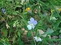 Viola saxatilis.JPG