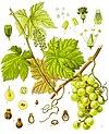 Vitis vinifera - Köhler–s Medizinal-Pflanzen-145.jpg
