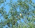Vuga (Oriolus oriolus), Eurasian Golden Oriole.jpg