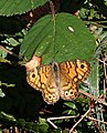 Wall Brown Butterfly on a Bramble Leaf - geograph.org.uk - 218466.jpg