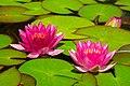 Water Lilies Canada 0517.jpg