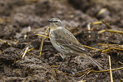 Water pipit - Aosta Valley - Italy S4E3385 (14004783392).jpg