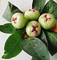 Wax apple (Syzygium samarangense) with leaves.jpg
