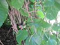 Weeping Fruiting Mulberry2.JPG