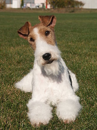 Wire Fox Terrier - Coat color has a predominant white base