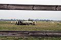 Wesselburen sheep and fence 04.03.2011 18-28-58.JPG