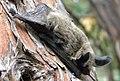 Western long-eared bat (Myotis evotis) (9403869552) (cropped).jpg