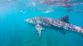Whale Shark photo taken at Ningaloo Reef on the 27th March 2016.png
