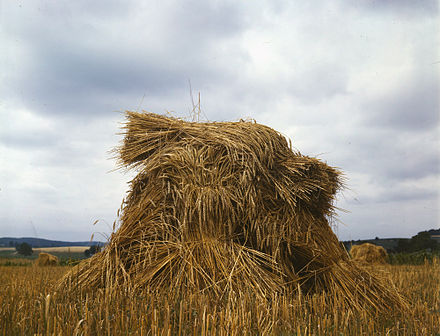 Sheaved and stooked wheat WheatPennsylvania1943.jpg