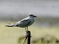 Whiskered Tern (Chlidonias hybridus) in Kolleru, AP W IMG 3913.jpg