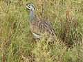 White-bellied Bustard, male.jpg