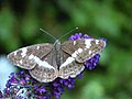 White Admiral butterfly (4842756933).jpg