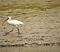 White Ibis Eudocimus albus (29107972768).jpg