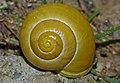 White Lipped Snail (Cepaea hortensis) (10072851734).jpg