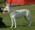 White Swiss Shepherd 3.jpg