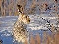 White Tailed Jackrabbit on Seedskadee National Wildlife Refuge (33421968795).jpg