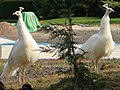 White peacocks at Saleway Farm - geograph.org.uk - 466838.jpg