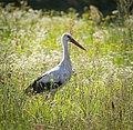 White stork (28621694360).jpg