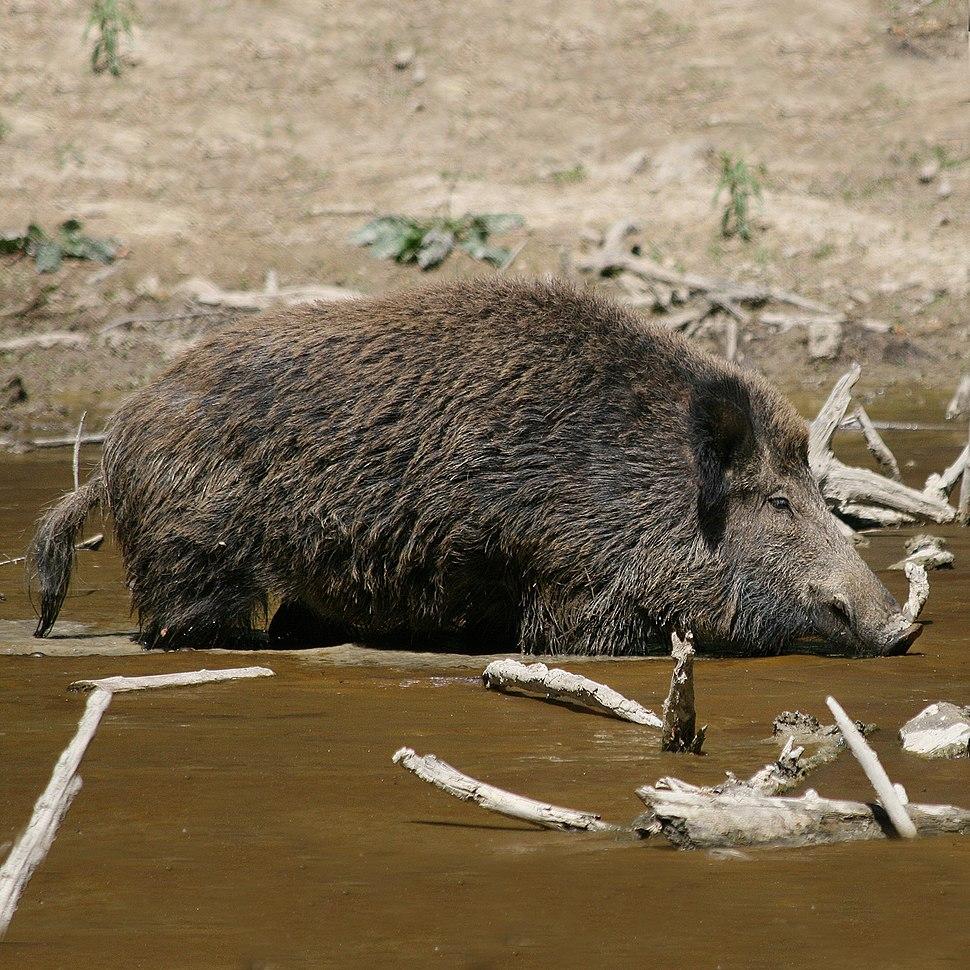 Wild Boar Habitat quadrat