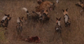 Wild Dogs Attack Spotted Hyenas to Defend Their Kill HD 8.png