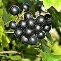 Wild Muscadine Grape (6003368320).jpg