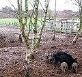 Wild boar (Sus scrofa) - geograph.org.uk - 1063521.jpg