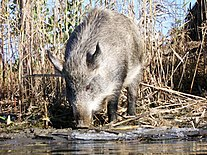 Wild boar in Volgograd Region 001.jpg