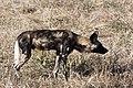 Wild dog (30224949030).jpg