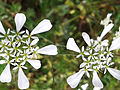 Wild flower in Greece.jpg