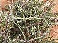 Wildflowers-Richtersveld-PICT2506.jpg
