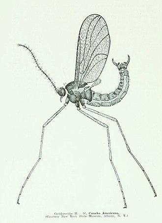 Cecidomyiidae - Catocha americana