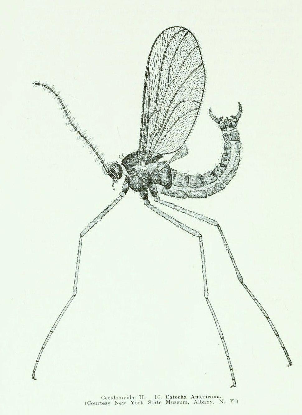 WillistonCecidomyiidae