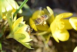 Winterlinge mit fliegender biene lebenswertes chemnitz