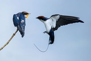 Parental care in birds - Image: Wire tailed swallow 2 @kannur