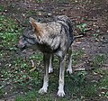 Wolf Canis lupus Wildpark Poing-05.jpg