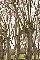 Wolfisheim - Platane sur le parking 01.jpg