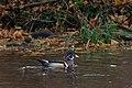 Wood duck male duck pond thanksgiving (14104928369).jpg