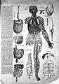 Woodcut; intestines, veins. Wellcome L0018957.jpg