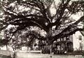 Wye Oak.jpg